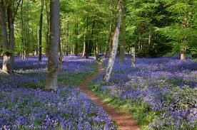 Annual Bluebells Day on May the 4th – come and enjoy the wood