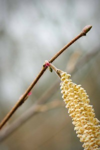 Hazel tree (Corylus avellanna) male catkins and female flowers. Hollington Wood, March 2015 Source: Georgina Sanders (Sanders & Jones, Olney).
