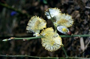 Goat willow (Salix caprea) catkins Source: RHS 2003