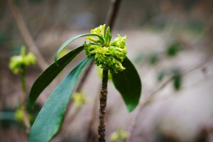 Spurge laurel (Daphne laureola). Hollington Wood, March 2015 Source: Georgina Sanders (Sanders & Jones, Olney