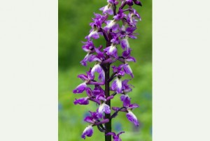 Early purple orchid (Orchis mascula), Source: MK Parks Trust, 2014