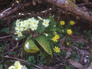 Lesser celandine (Ranunculus ficaria) and primroses - Hollington Wood, April 2015