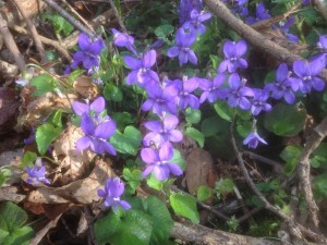 Common dog violets (Viola riviniana). Hollington Wood April 2015