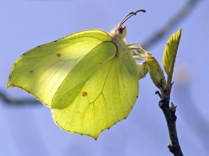 Brimstone butterfly Source: Butterfly conservation trust