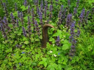 bugle (bugle) in the bugle (Ajuga reptans), Hollington wood