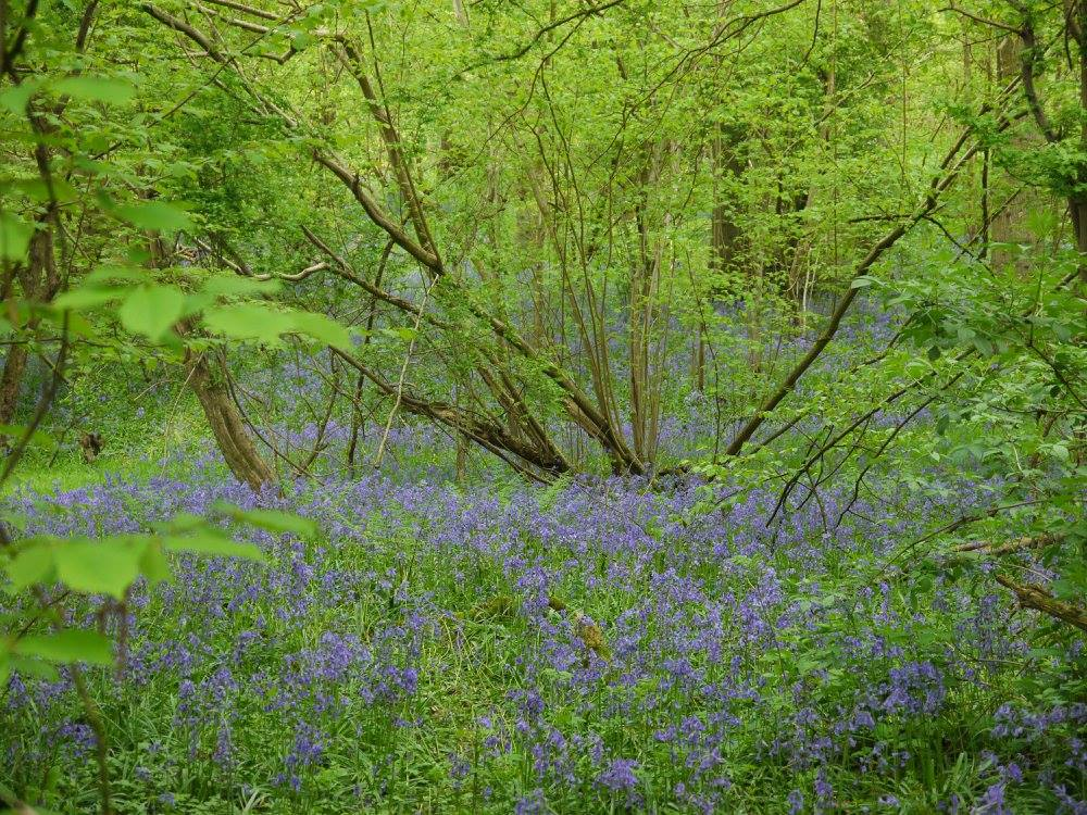May – the time for carpets of bluebells