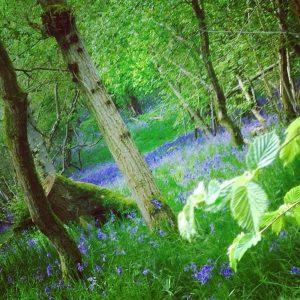 hollington wood bluebells