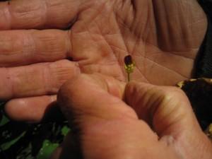 Commom fiwort flower, Scrophularia nodosa