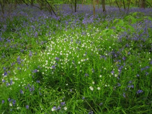 Stitchwort with bluebells