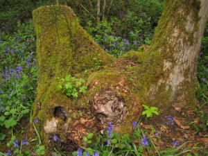 Oak, hawthorn and maple growing out of coppiced ash stool (notice moss too)