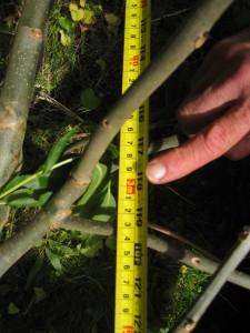 new shoot - 3 meters grow in year 2