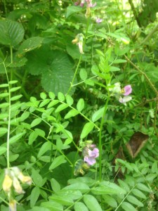 bush vetch, Vicia sepium