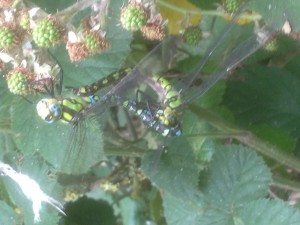 Southern Hawker dragonflies mating in Hollington